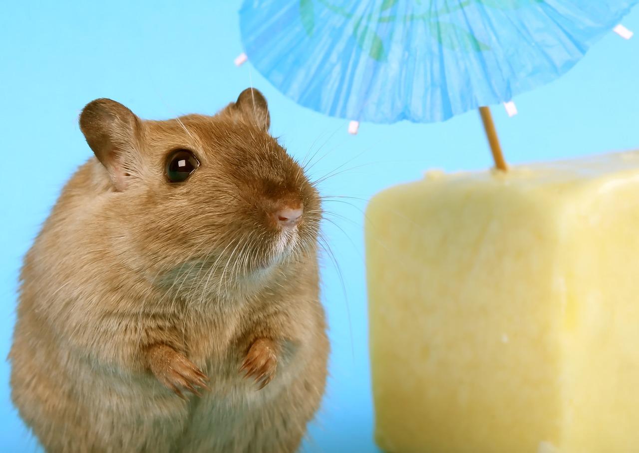 En hamster som står bredvid en ost med ett blå litet paraply