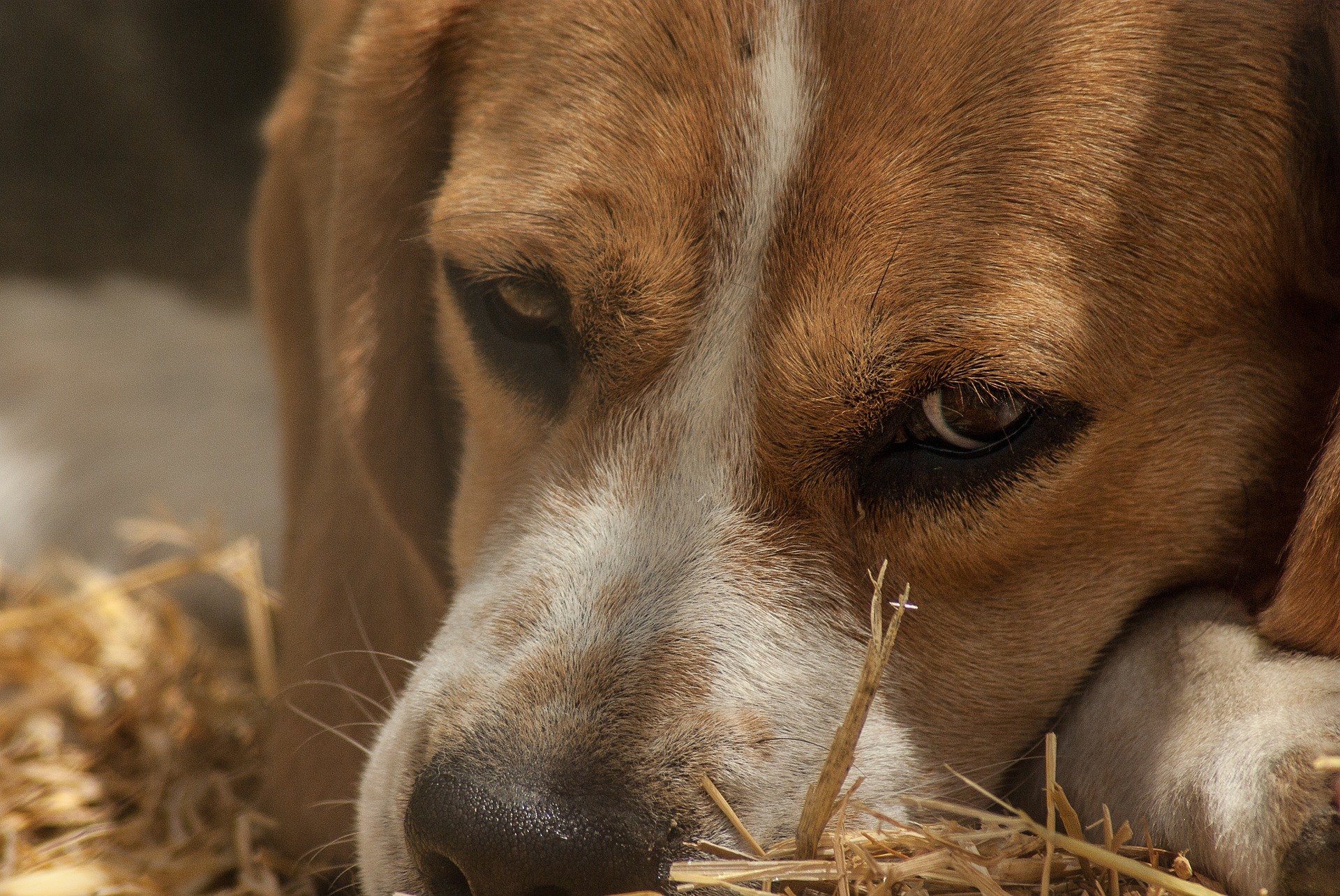 Beagle är en av de vanligaste jakthundarna idag.