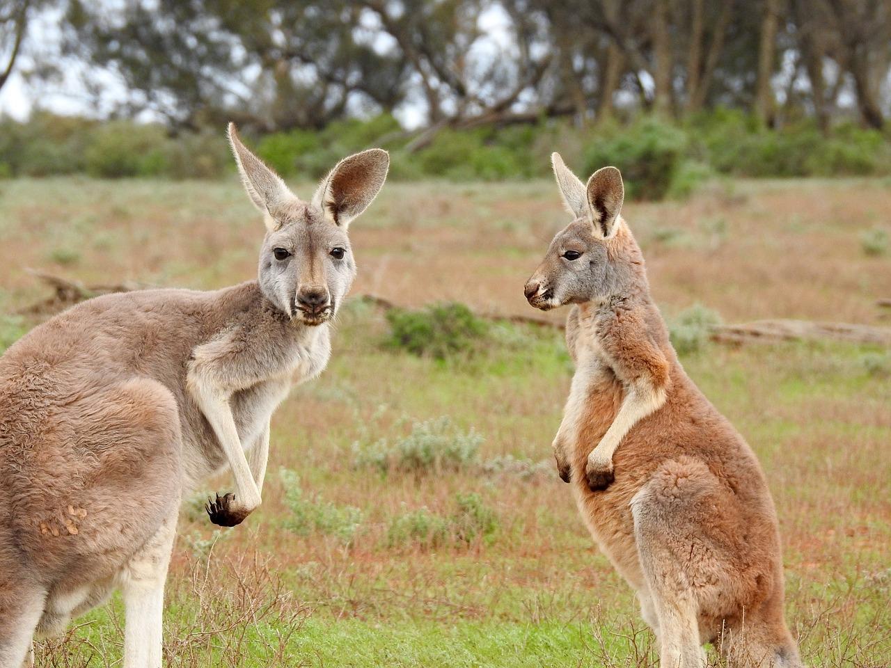 I Australien finns kängurus.