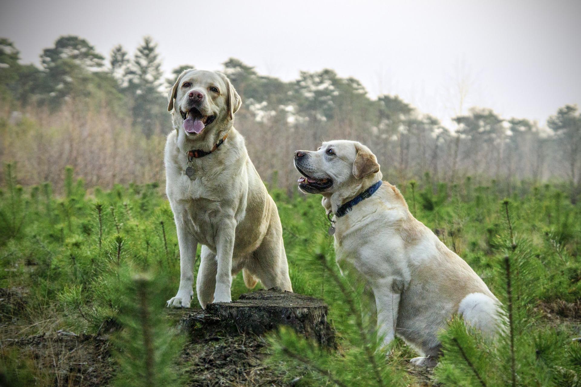 Labradoren är idag den vanligaste hundrasen i Sverige.