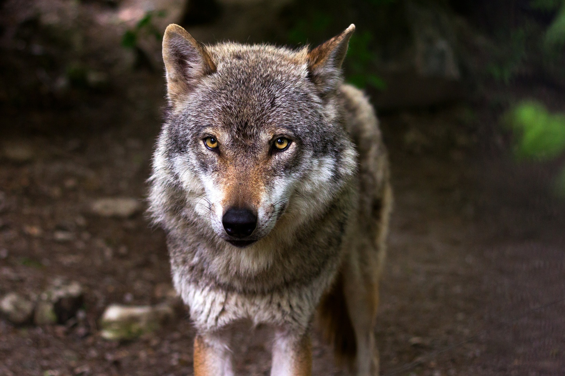 De moderna hundarna härstammar alla från vargen.