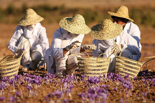 Ett fält med krokusar. Tre personer med halmhattar och korgar som plockar blommorna.