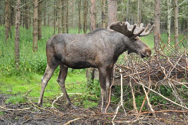 Älg som står i skogen.