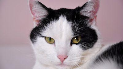 En svart och vit katt som ligger ner.