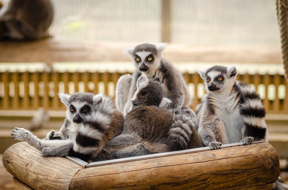 Fyra lemurer som sitter i en hög.