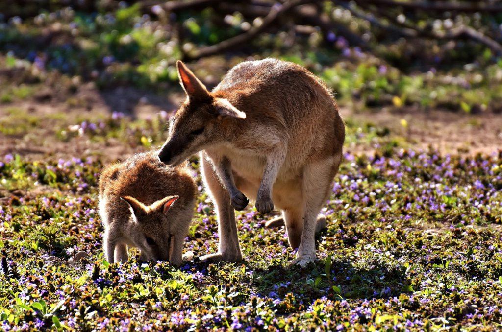 Kängurumamman nosar på sitt barn i ett soligt Australien.