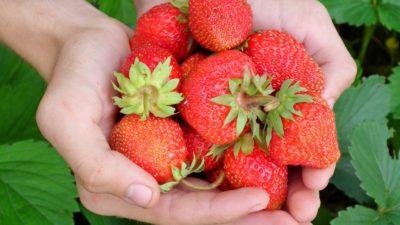 Händer som håller i färska röda jordgubbar