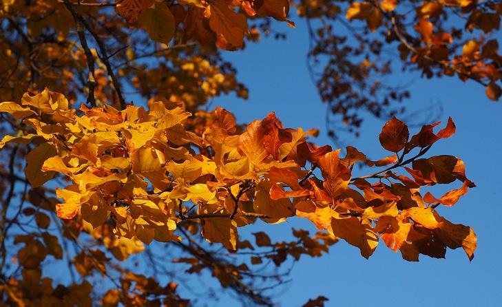 En gren med gula löv. I bakgrunden syns en blå himmel.