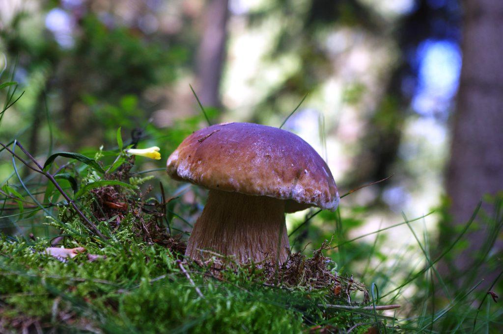 En karljohansvamp som växer i mossa. Den har vit fot och brun hatt.