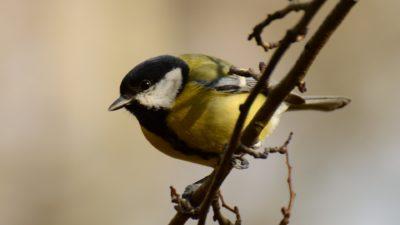 En talgoxe som sitter på en gren. Den är gul på bröstet och svart på huvudet, med vita fläckar runt ögonen.