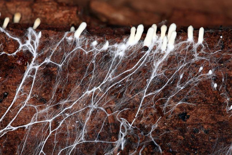 Genomskärning av jord där små vita svampar växer. Deras tunna svamptrådar grenar sig långt ner i jorden.