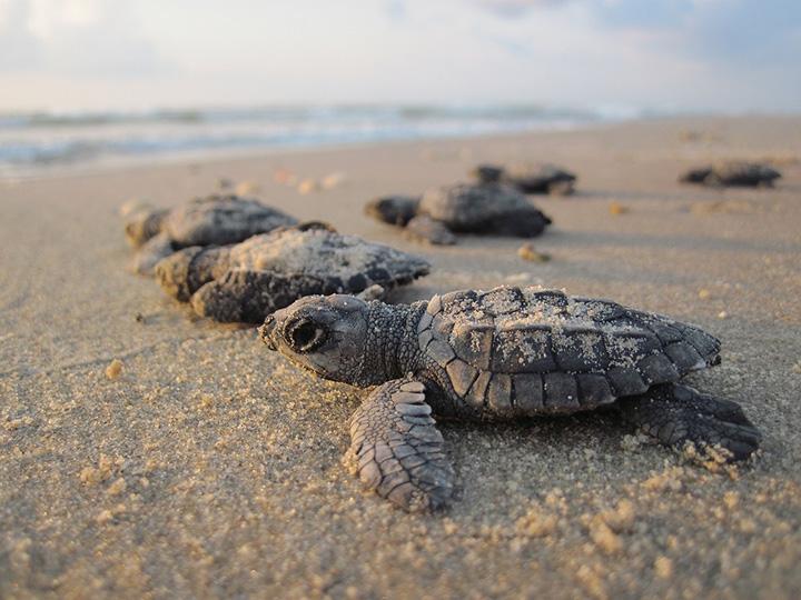 Sköldpaddsungar kryper över sanden på en strand.