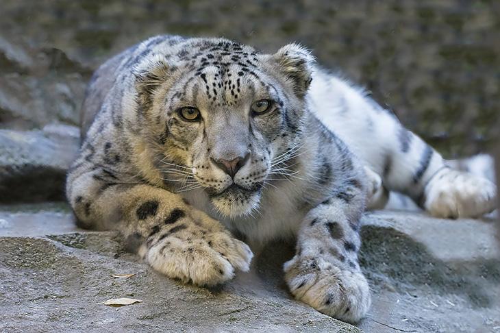En snöleopard ligger på marken och tittar in i kameran. Den har vitgrå päls med svarta prickar och stora tassar.