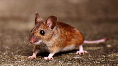 En liten råtta.