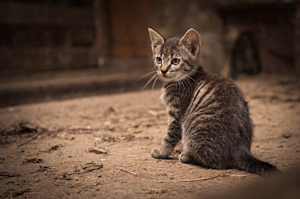 En kattunge