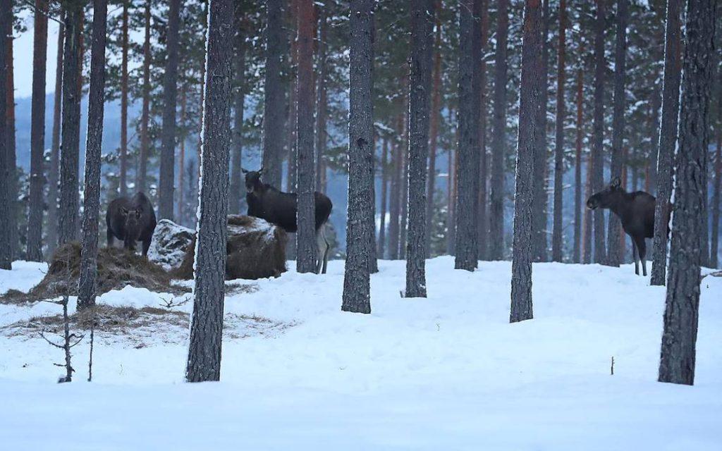 Tre älgar i en skog. Det ligger snö på marken.