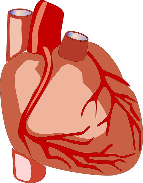 En bild av ett människohjärta. Det är en rund klump med blodådror runt.