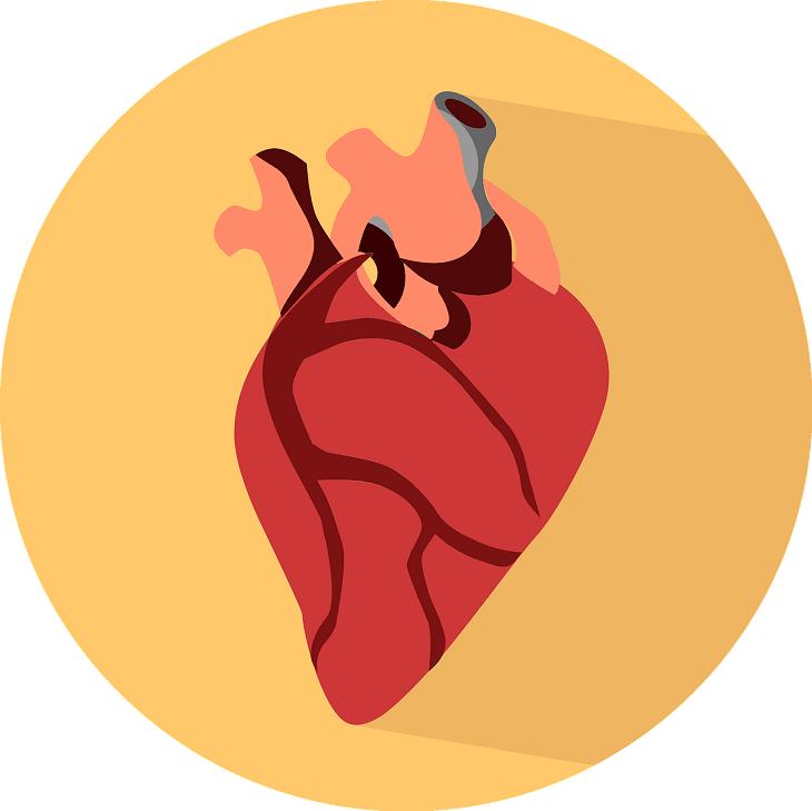 En bild av ett hjärta. Det är rött och ungefär lika stort som en knytnäve. Hjärtat har flera utgångar och blodådror.