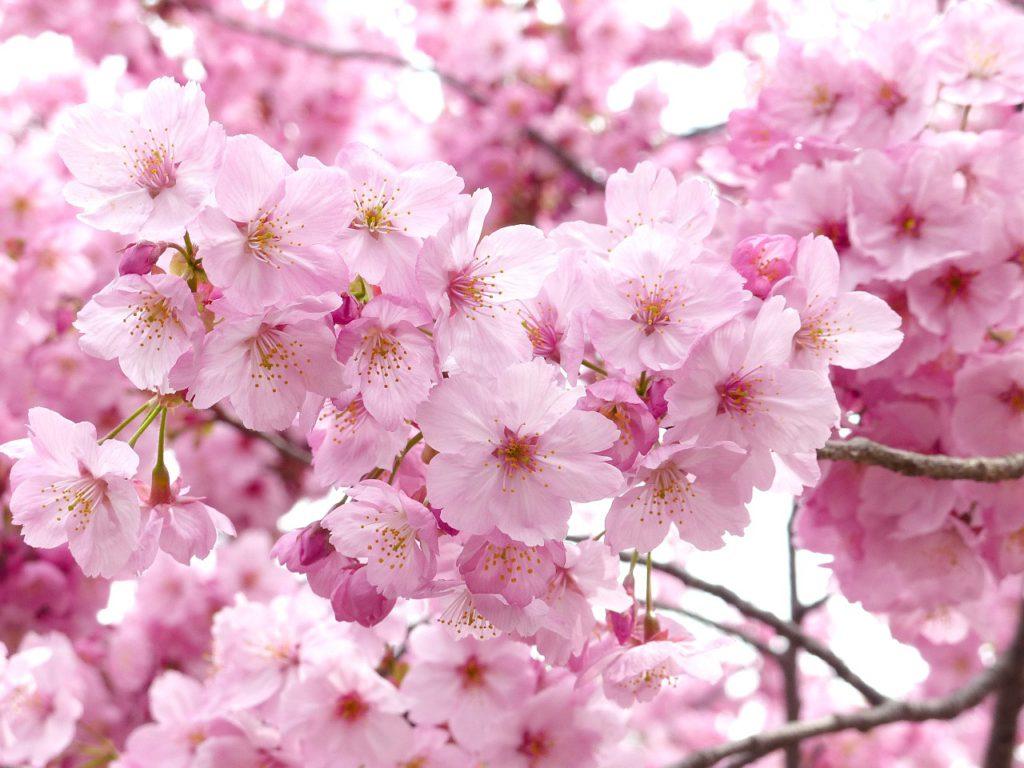 Rosa japanska körsbärsblommor i ett träd