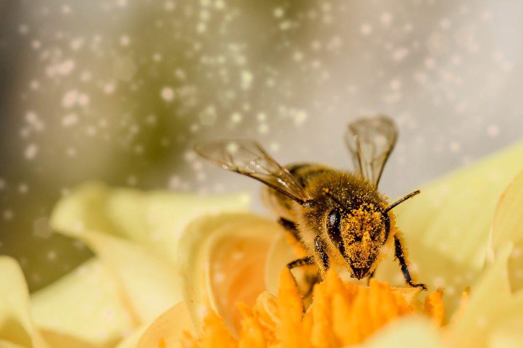 Ett bi sitter på en gul blomma. Hela biets ansikte och framben är täckta av ett gult mjöl.