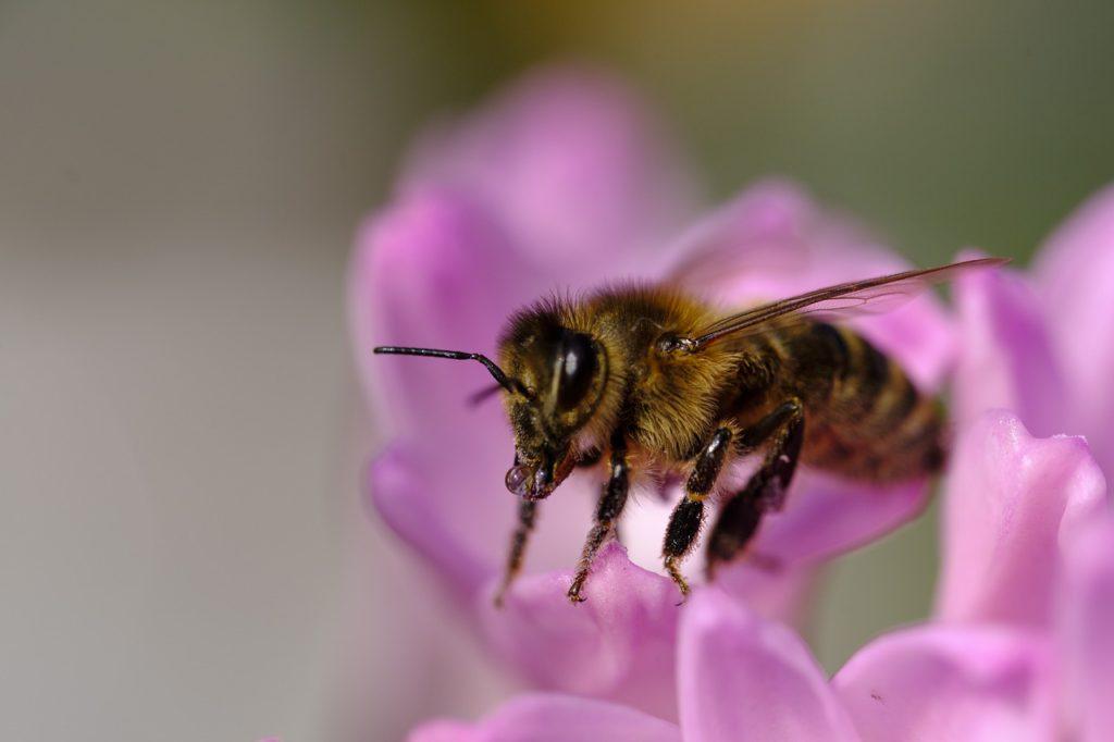 En närbild på ett bi. Biet är svart och brunt, med ljusbrun fluffig päls. Biet sitter på en lila blomma.