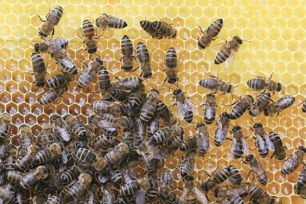 En hög med bin sitter på en vaxkaka. Vaxkakan är gul med ett mönster av sexkantiga hål.