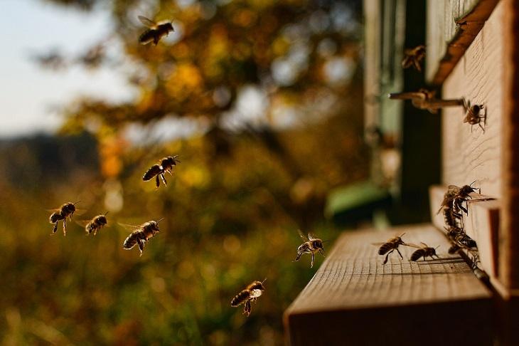 En svärm med bin flyger i solsken mot sin kupa i trä. Några av bina har redan landat framför kupan.