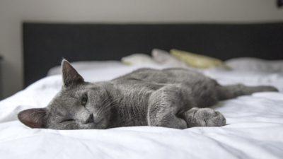 En grå katt som ligger på en säng med vita lakan.