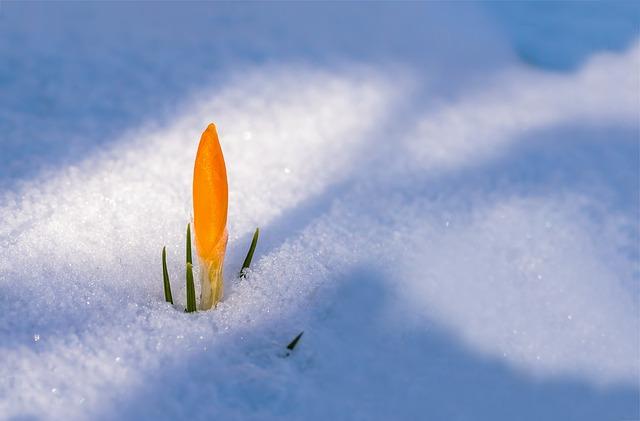En gul krokus tränger sig igenom tjock snö.