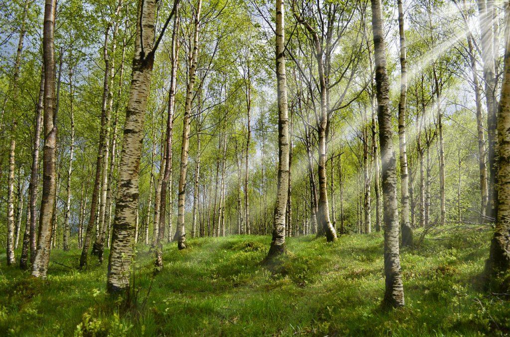 En skog med björkar. Solen strilar ner mellan trädkronorna.