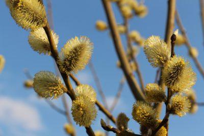 En gren med flera fluffiga små bollar. Bollarnna har gula små frön längst ut.
