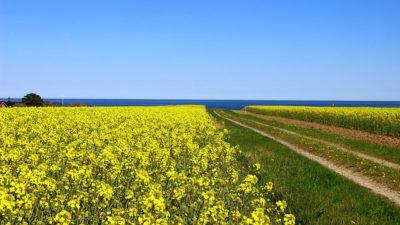 Bild på blå himmel, blått hav och ett fält med gul raps.