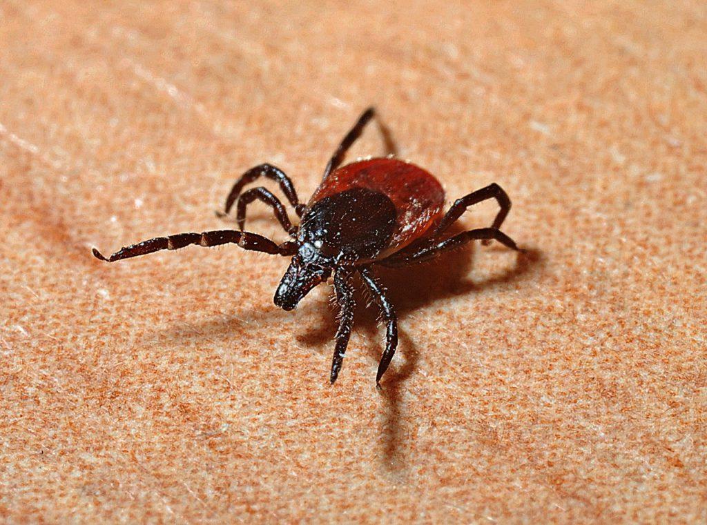 En fästing i närbild. Den har åtta ben, och en rund, platt kropp. Det har ett litet avlångt huvud där det inte riktigt får att urskilja några ögon.