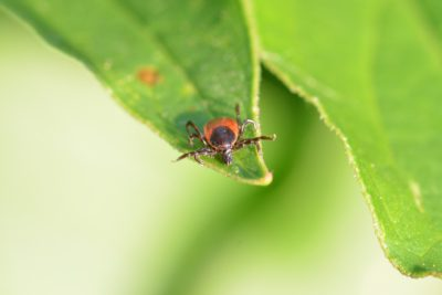 En fästing på ett grönt blad. Fästingen är svart och röd.