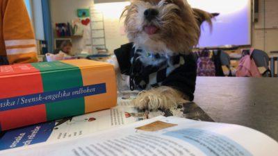En hund med jumper ligger på ett skrivbord med skolböcker på i ett klassrum.
