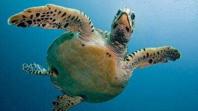 En havssköldpadda i havet fotad underifrån.