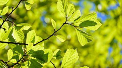 Några grenar sticker ut. De är fyllda med nyutslagna, tunna blad. På bladen skiner solen.