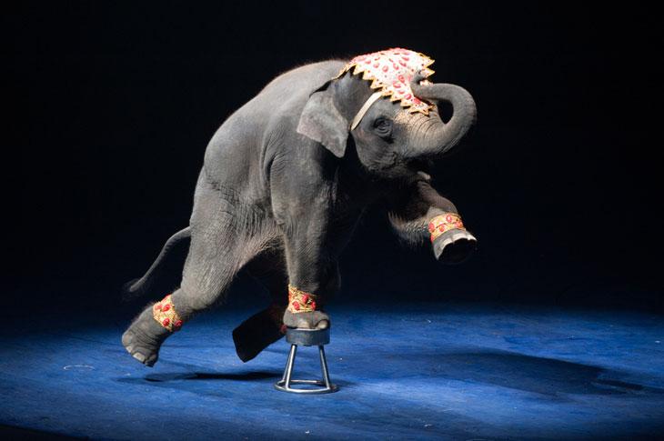 En elefant står och balanserar på en liten pall. Den har en fot på pallen och de andra i luften. Den har ett färgglatt tygstycke i pannan och färgglada band runt fötterna.