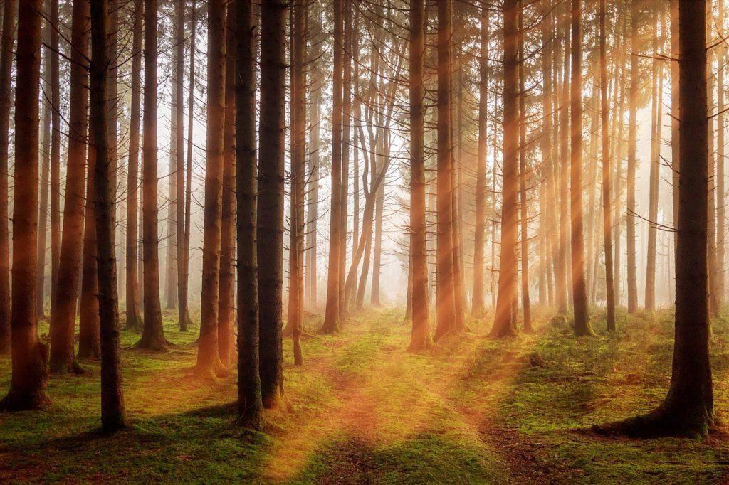 En skog med höga träd och några solstrålar lyser in från ovanför trädkronorna.
