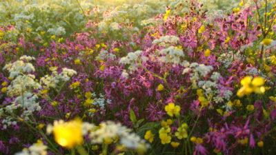 Flera olika sorters blommor växer tätt tillsammans på en äng. En låg sol skiner över ängen.