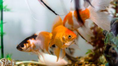 Ett par fiskar i ett akvarium.