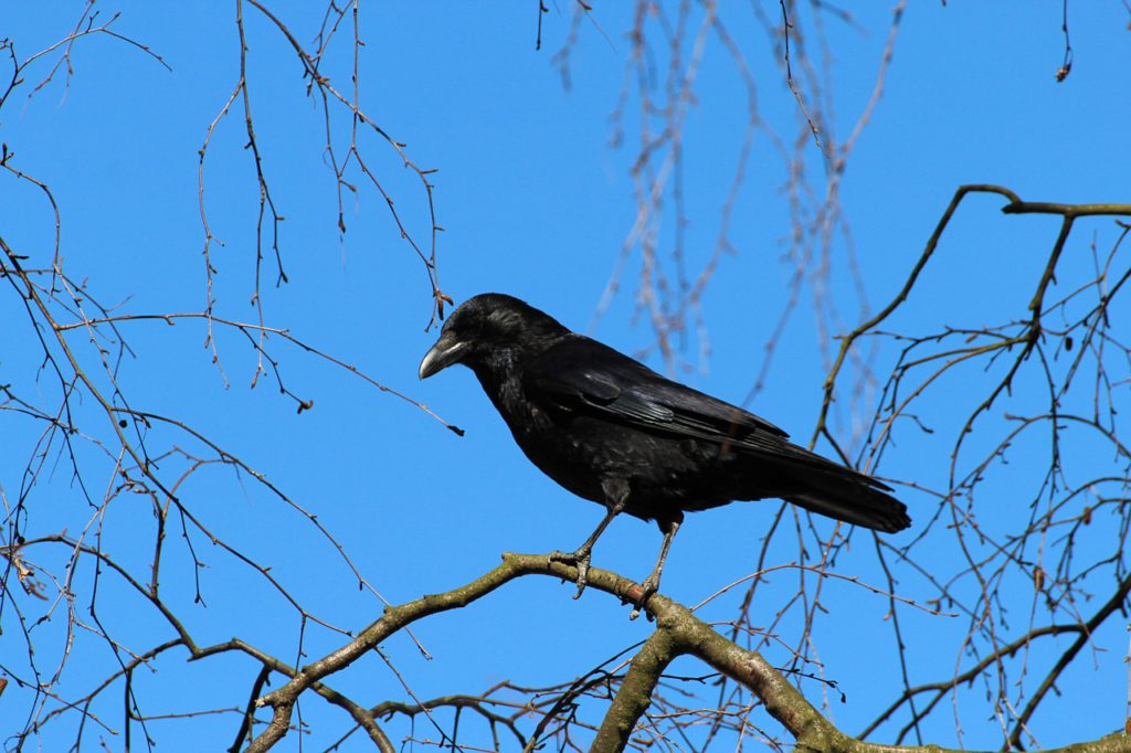 En kråka i ett träd