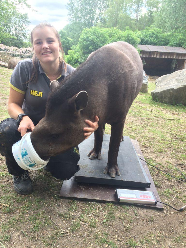 Djurskötaren Emmy matar Tapiren Carl Philip för att han ska stå kvar på vågen.