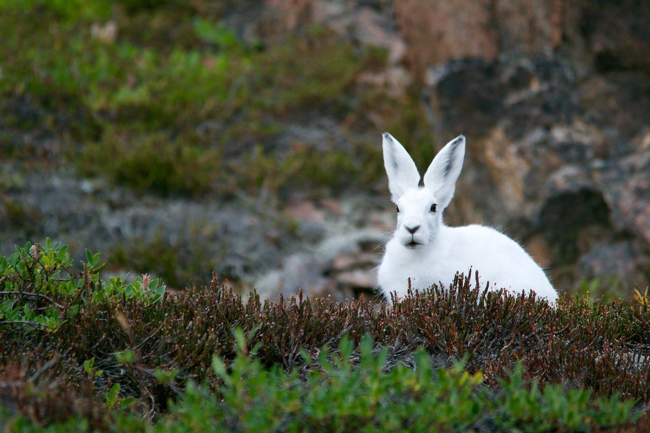 En vit kanin sitter i Arktis växtlighet
