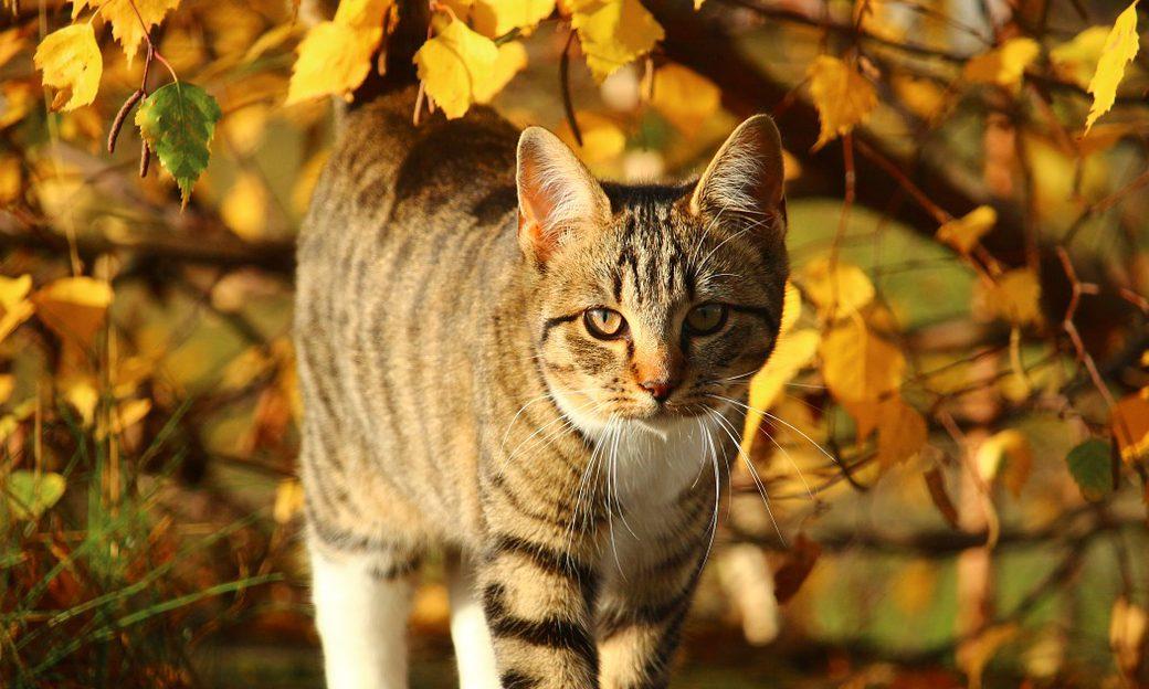 En grå katt bland gula höstlöv