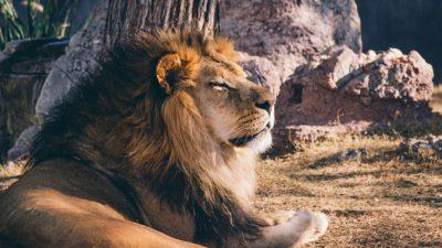 En lejonhanne ligger på gräset och solar sig.