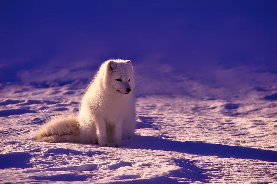 En vit fjällräv sitter i snön
