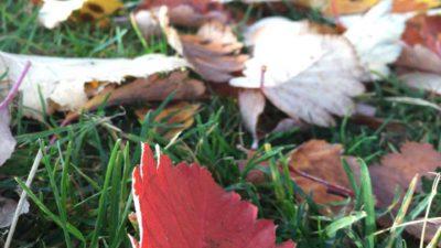 Ett rött löv mot grönt gräs.