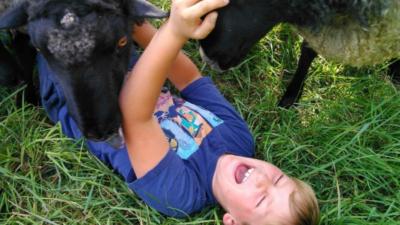 Ett barn ligger på marken och blir nosat på av två får.
