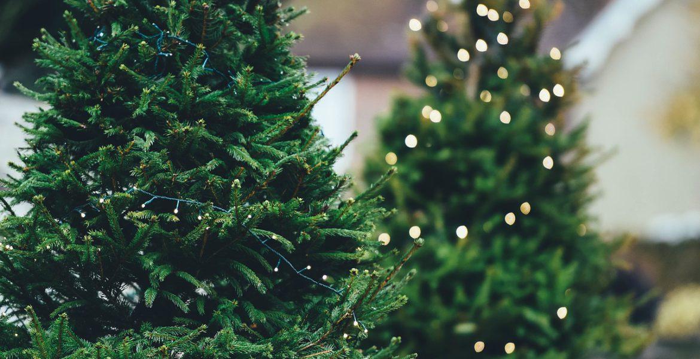 Två julgranar. Den ena har en ljusslinga lindad runt sig.